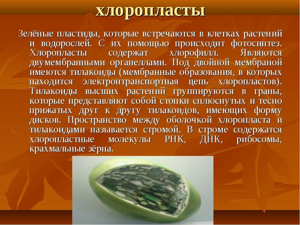хлоропласты Зелёные пластиды, которые встречаются в клетках растений и водоро...
