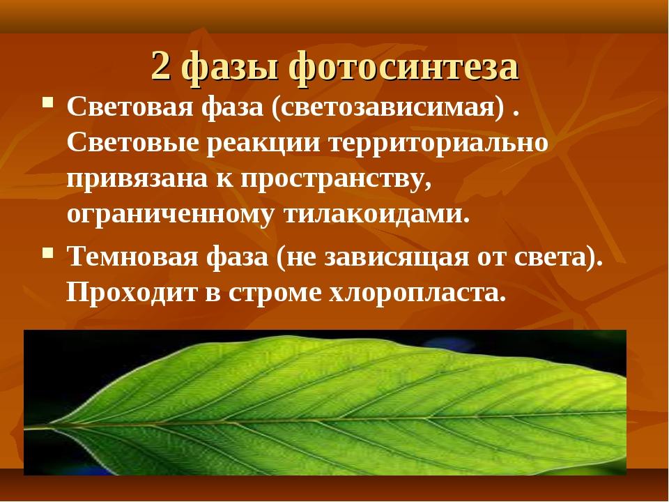 2 фазы фотосинтеза Световая фаза (светозависимая) . Световые реакции территор...