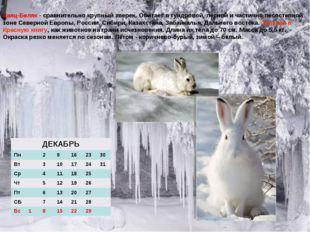 Заяц-Беляк - сравнительно крупный зверек. Обитает в тундровой, лесной и части