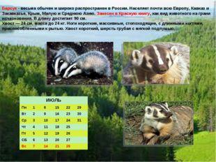 Барсук - весьма обычен и широко распространен в России. Населяет почти всю Ев