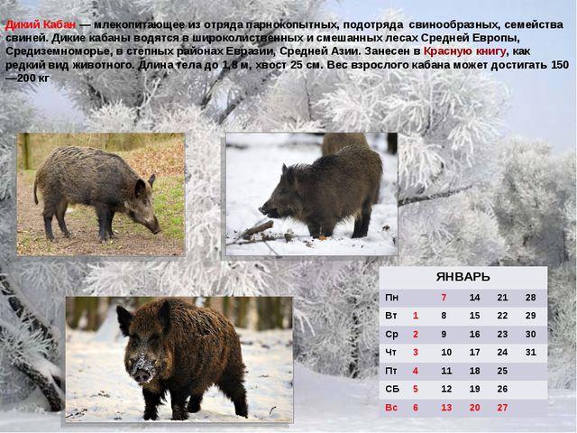 Дикий Кабан — млекопитающее из отряда парнокопытных, подотряда свинообразных,...