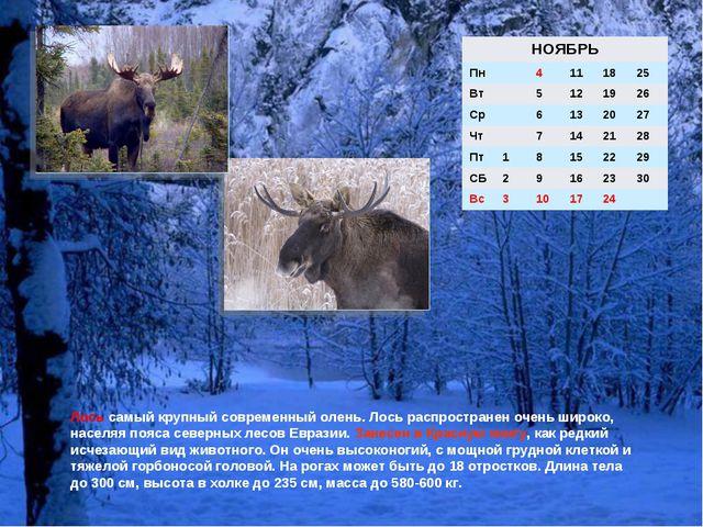 Лось самый крупный современный олень. Лось распространен очень широко, населя...