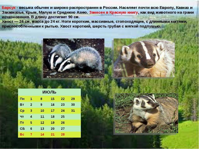 Барсук - весьма обычен и широко распространен в России. Населяет почти всю Ев...