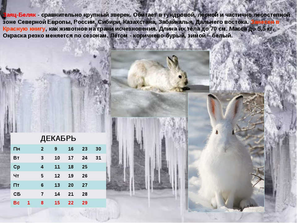 Заяц-Беляк - сравнительно крупный зверек. Обитает в тундровой, лесной и части...
