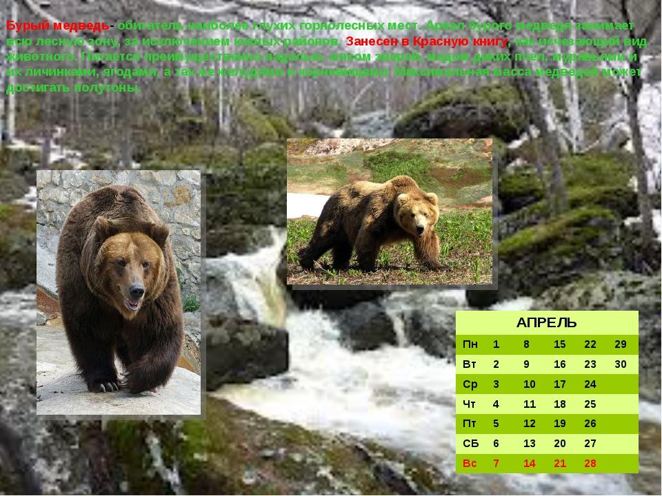 Бурый медведь- обитатель наиболее глухих горнолесных мест. Ареал бурого медве...