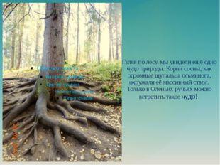 Гуляя по лесу, мы увидели ещё одно чудо природы. Корни сосны, как огромные щу