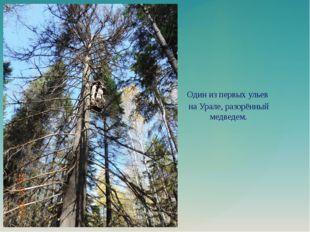 Один из первых ульев на Урале, разорённый медведем.