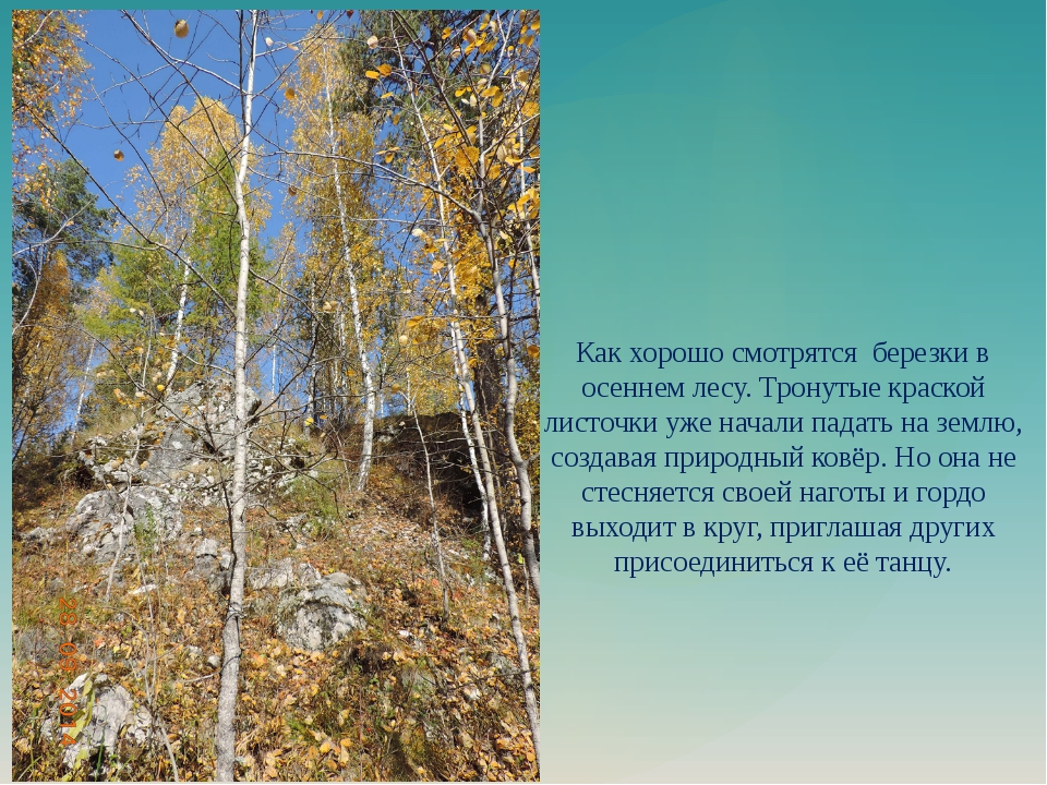 Как хорошо смотрятся березки в осеннем лесу. Тронутые краской листочки уже на...