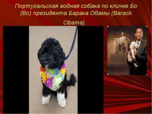 Португальская водная собака по кличке Бо (Bo) президента Барака Обамы (Barack