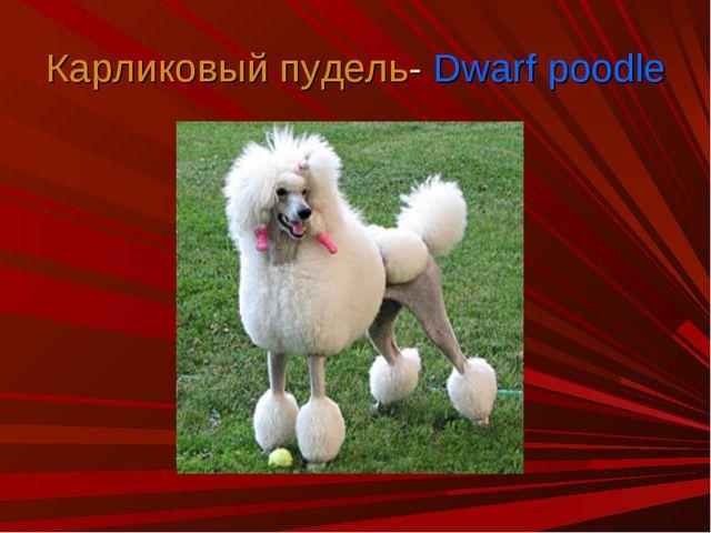 Карликовый пудель- Dwarf poodle