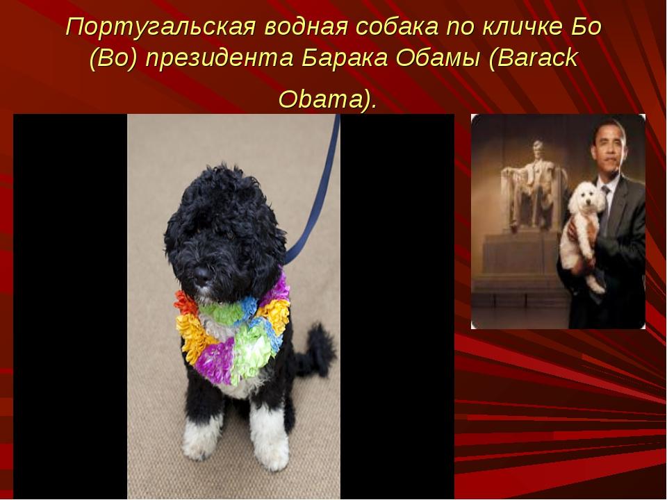 Португальская водная собака по кличке Бо (Bo) президента Барака Обамы (Barack...