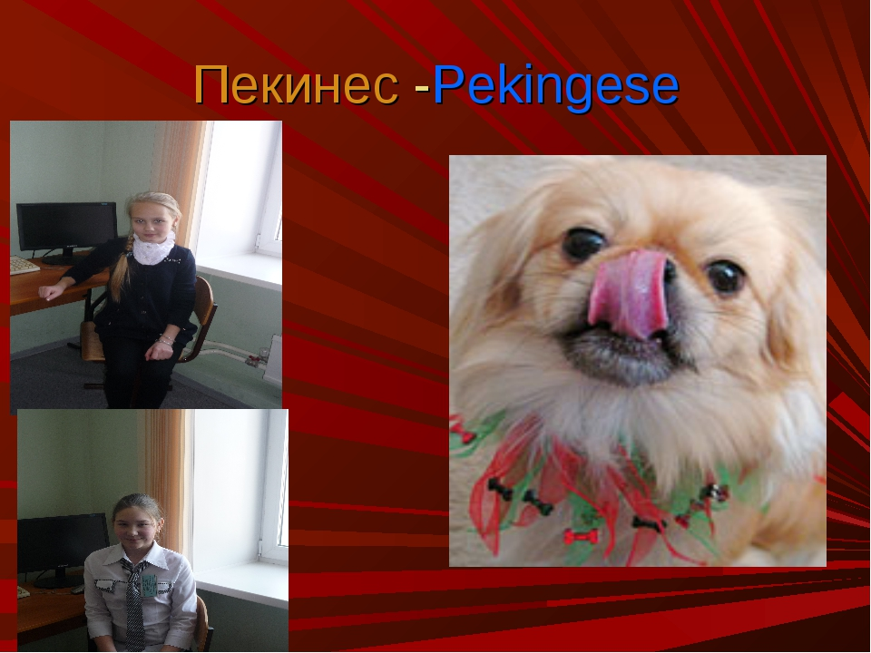 Пекинес -Pekingese