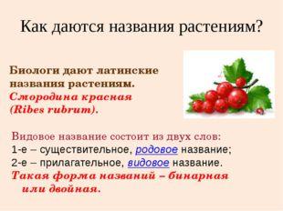 Биологи дают латинские названия растениям. Смородина красная (Ribes rubrum).