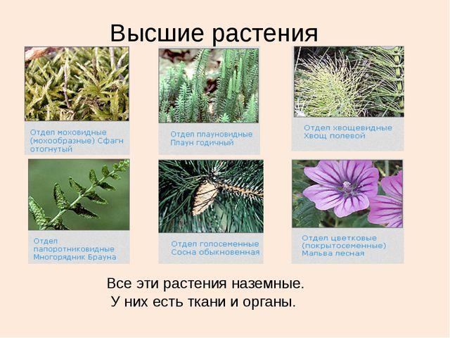 Высшие растения Все эти растения наземные. У них есть ткани и органы.