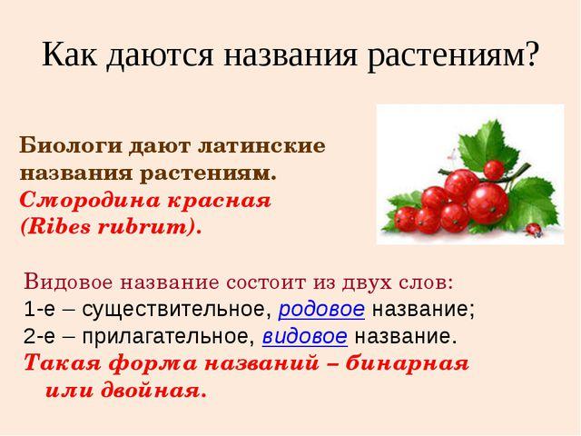 Биологи дают латинские названия растениям. Смородина красная (Ribes rubrum)....