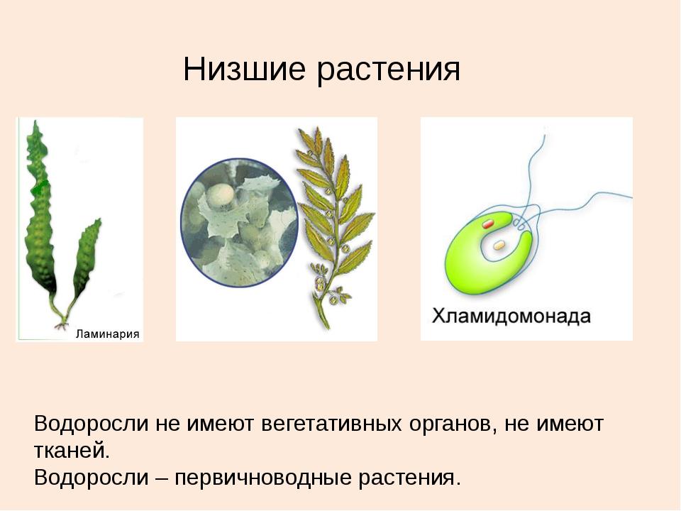Низшие растения Водоросли не имеют вегетативных органов, не имеют тканей. Вод...