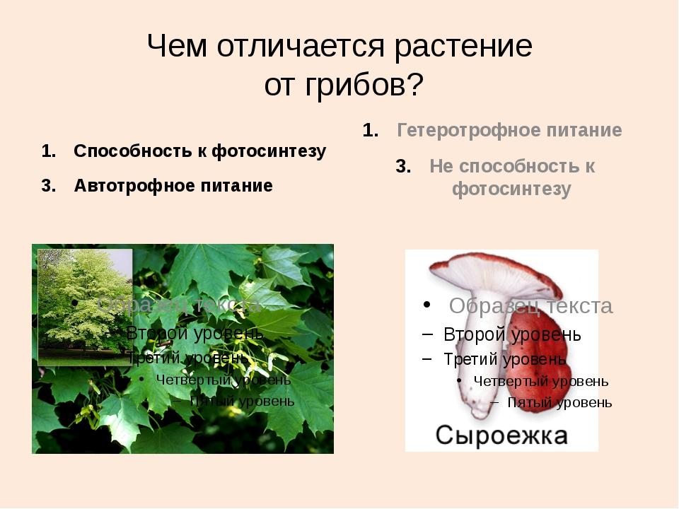 Чем отличается растение от грибов? Способность к фотосинтезу Автотрофное пита...