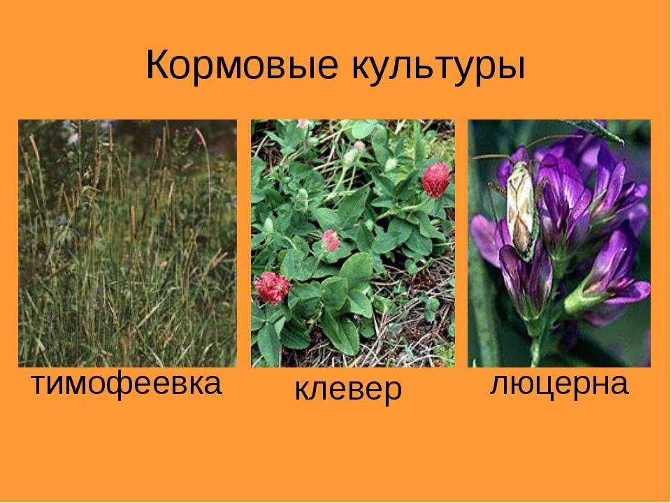 Кормовые культуры тимофеевка клевер люцерна