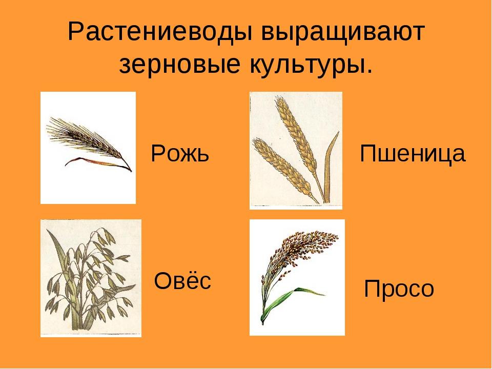Растениеводы выращивают зерновые культуры. Рожь Пшеница Овёс Просо