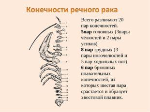 Всего различают 20 пар конечностей. 5пар головных (3пары челюстей и 2 пары ус