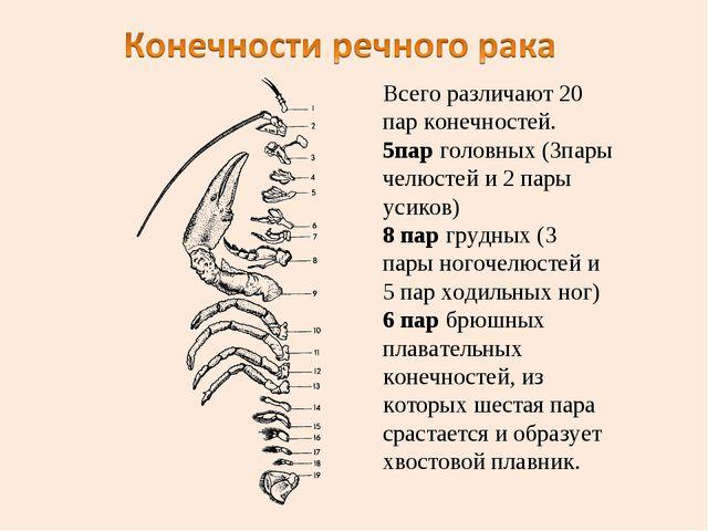 Всего различают 20 пар конечностей. 5пар головных (3пары челюстей и 2 пары ус...