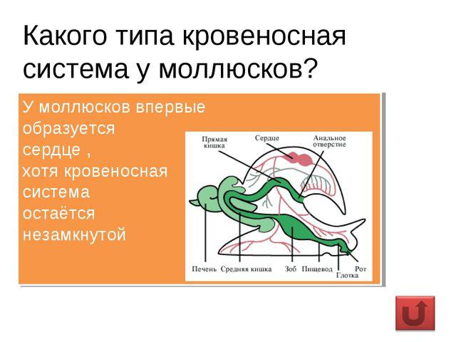 Какого типа кровеносная система у моллюсков? У моллюсков впервые образуется с...