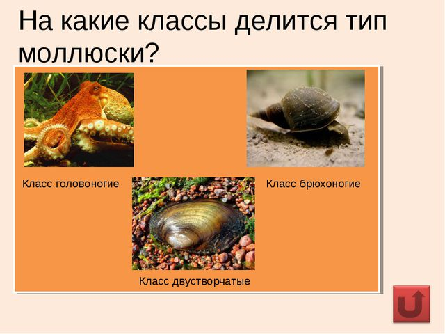 На какие классы делится тип моллюски? Класс головоногие Класс брюхоногие Клас...