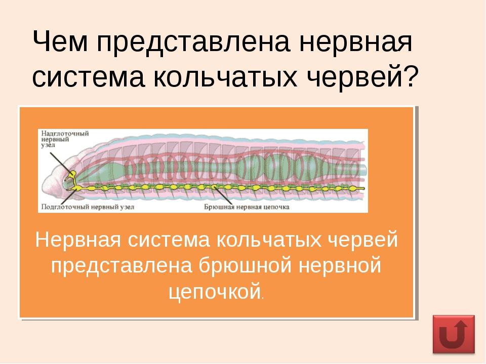 Чем представлена нервная система кольчатых червей? Нервная система кольчатых...