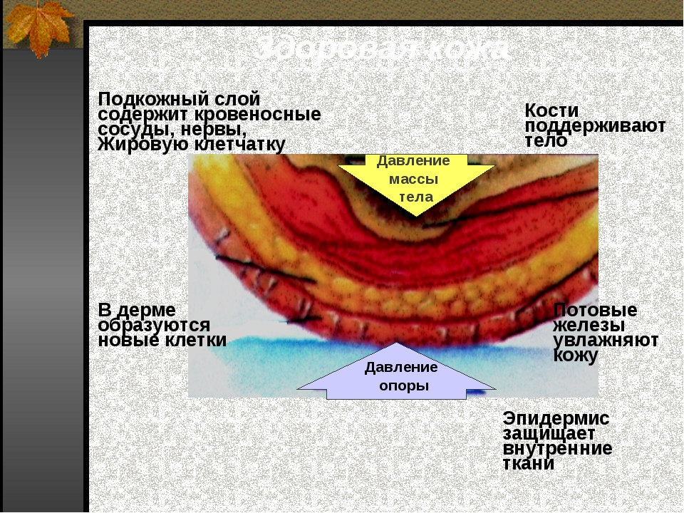 Здоровая кожа Давление массы тела Давление опоры Кости поддерживают тело Под...