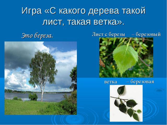 Игра «С какого дерева такой лист, такая ветка». Это береза. Лист с березы вет...