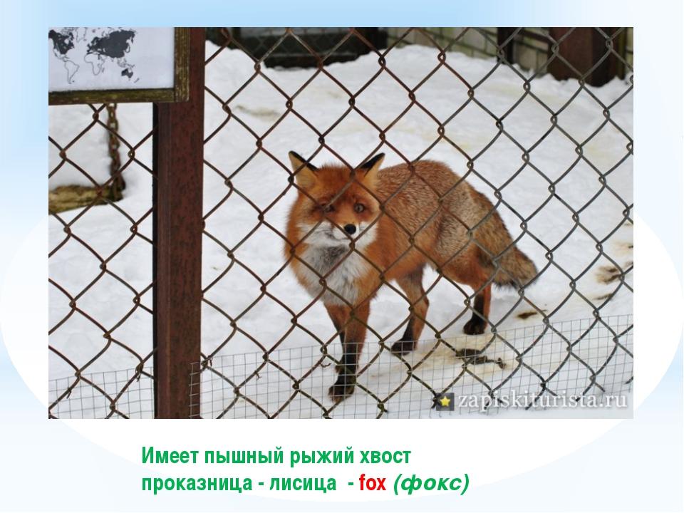 Имеет пышный рыжий хвост проказница - лисица - fox (фокс)