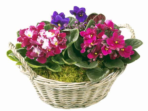 Описание: Описание: Описание: Описание: Описание: Описание: Описание: flowers-fialka-2.jpg