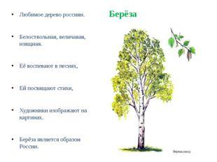 Берёза Любимое дерево россиян. Белоствольная, величавая, изящная. Её воспеваю