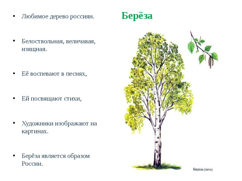 Берёза Любимое дерево россиян. Белоствольная, величавая, изящная. Её воспеваю...