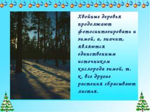 Хвойные деревья продолжают фотосинтезировать и зимой, а, значит, являются еди