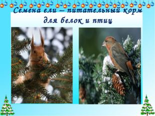 Семена ели – питательный корм для белок и птиц