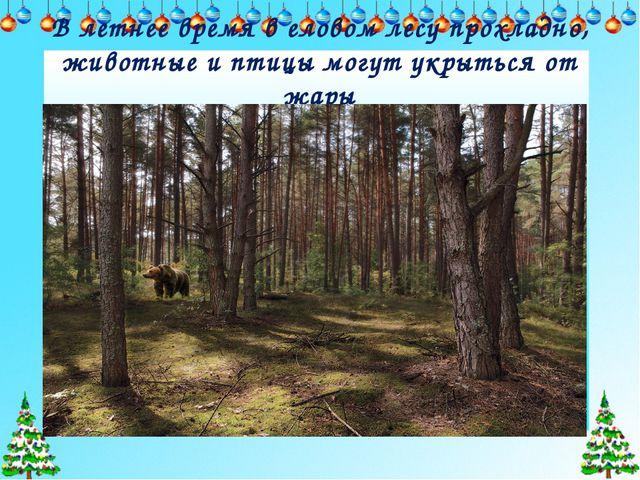 В летнее время в еловом лесу прохладно, животные и птицы могут укрыться от жары