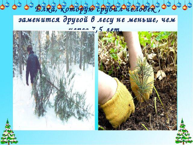 Ёлка, которую срубил человек , заменится другой в лесу не меньше, чем через...