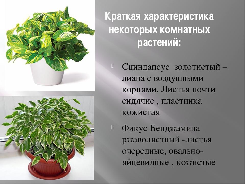 Краткая характеристика некоторых комнатных растений: Сциндапсус золотистый –...