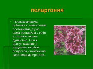 пеларгония Познакомившись поближе с комнатными растениями, я уже сама постави