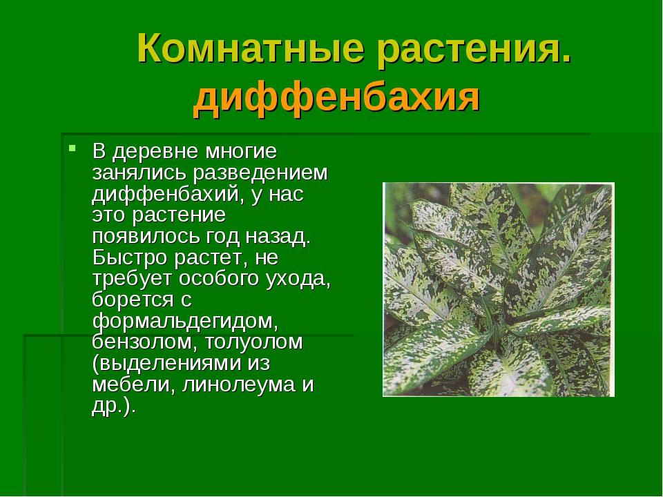 Комнатные растения. диффенбахия В деревне многие занялись разведением диффен...