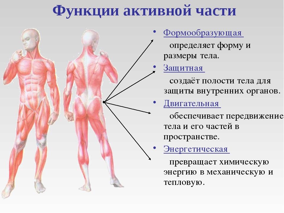 Функции активной части Формообразующая определяет форму и размеры тела. Защи...