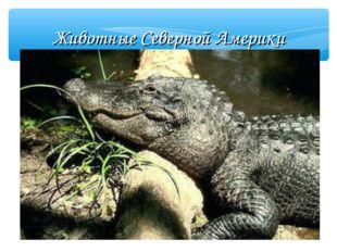 Животные Северной Америки Аллигатор В реках, озёрах и болотах Северной Амери