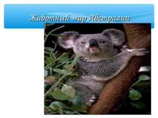 Животный мир Австралии Коала  Коала похож на плюшевого медвежонка. В лесу у