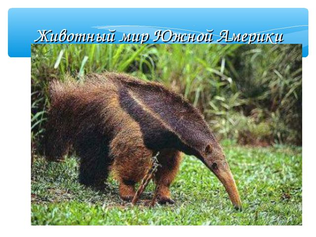 Животный мир Южной Америки Муравьед Муравьед ест муравьёв и термитов, за что...