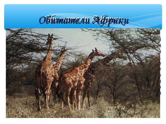 Обитатели Африки Жираф Жираф – самый высокий зверь. Он ест листья деревьев....