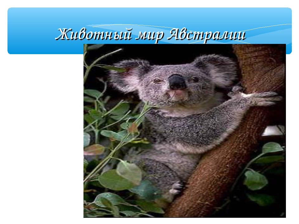 Животный мир Австралии Коала  Коала похож на плюшевого медвежонка. В лесу у...