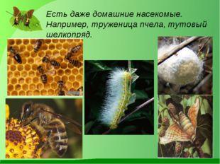 Есть даже домашние насекомые. Например, труженица пчела, тутовый шелкопряд.
