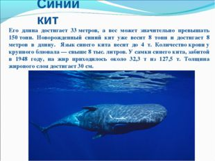 Синий кит Его длина достигает 33метров, а вес может значительно превышать 15