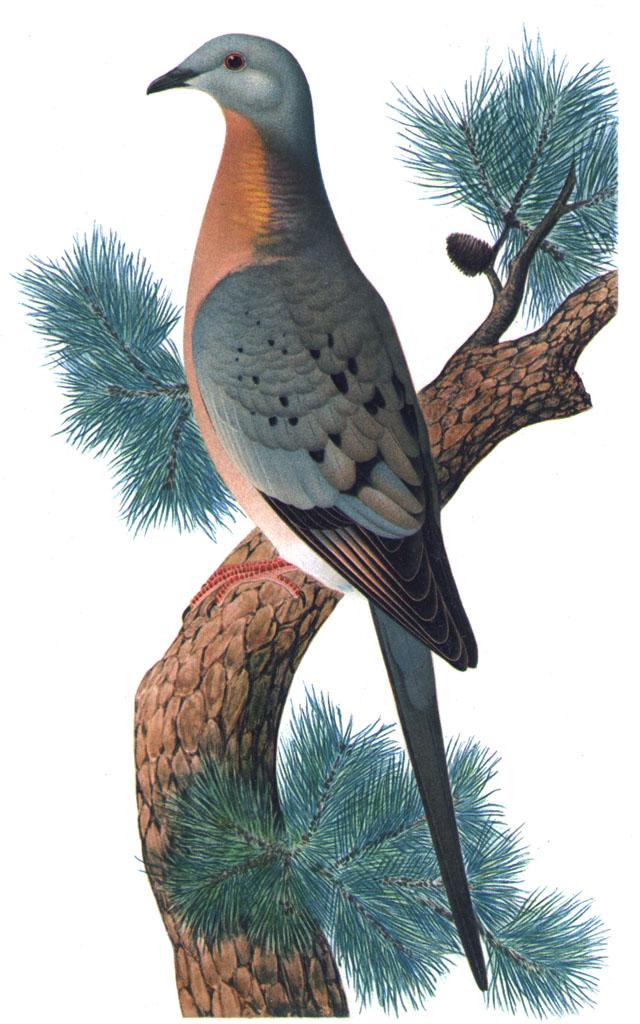 http://upload.wikimedia.org/wikipedia/commons/d/d0/Ectopistes_migratoriusMCN2P28CA.jpg